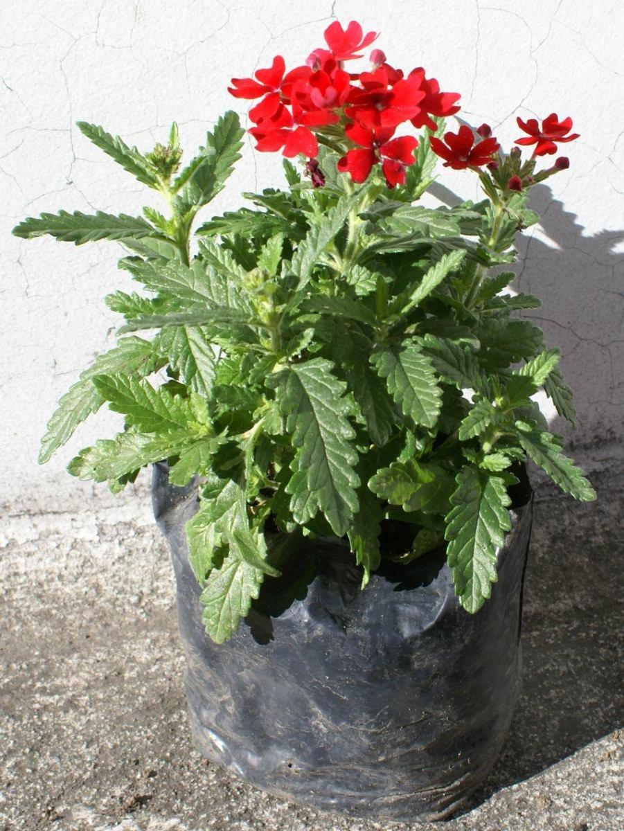 Lote 4 plantas vervena plantas decorativas para jardin for Plantas decorativas hidroponicas