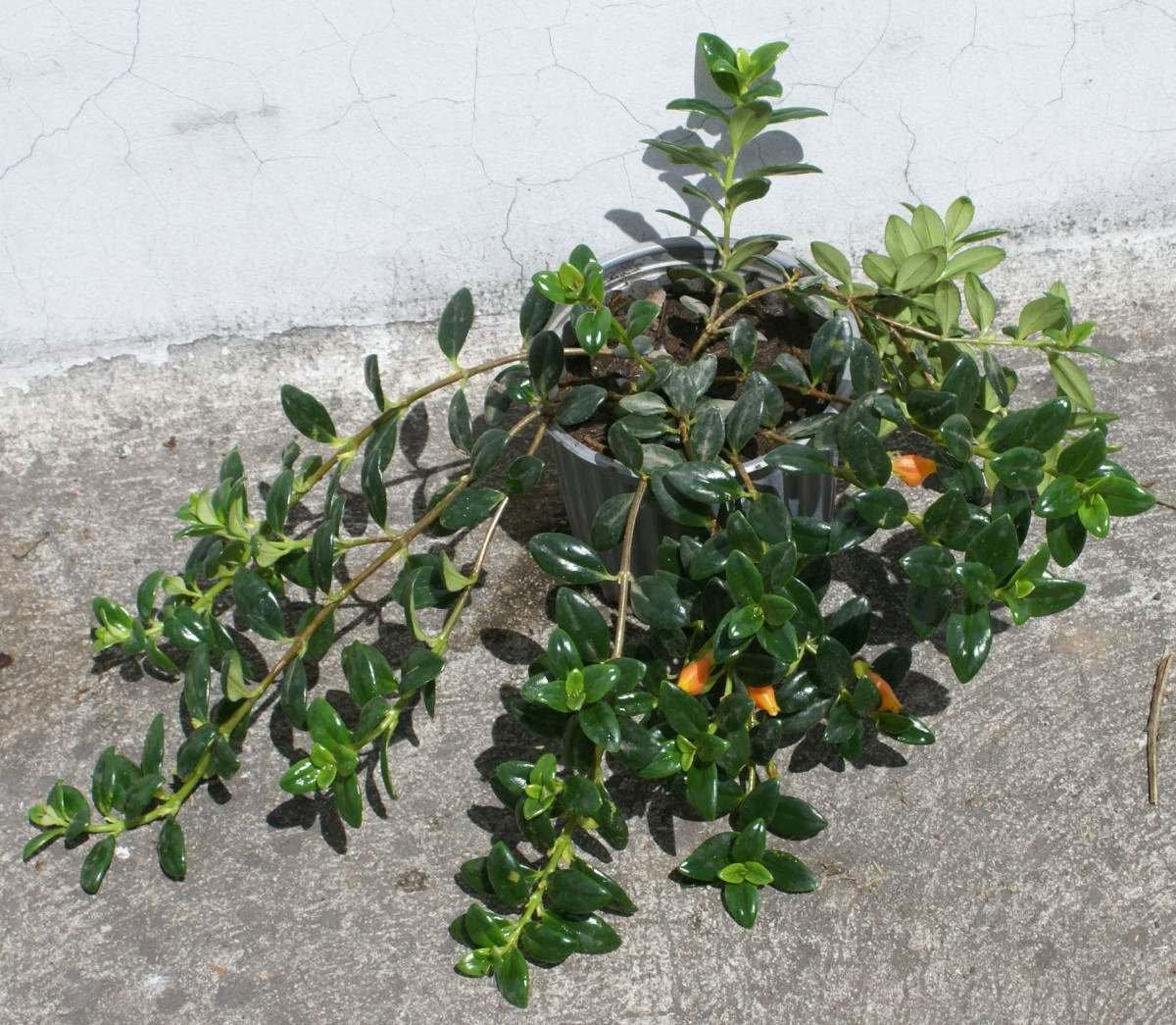 Pescadito plantas ornamentales para jardin decoracion for Plantas decorativas ornamentales