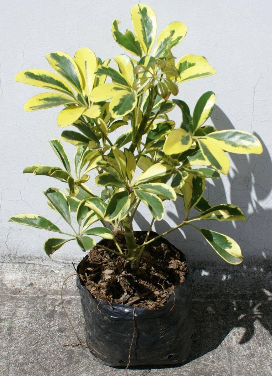 Chiflera cheflera schefflera planta ornamental for Arbustos ornamentales de exterior