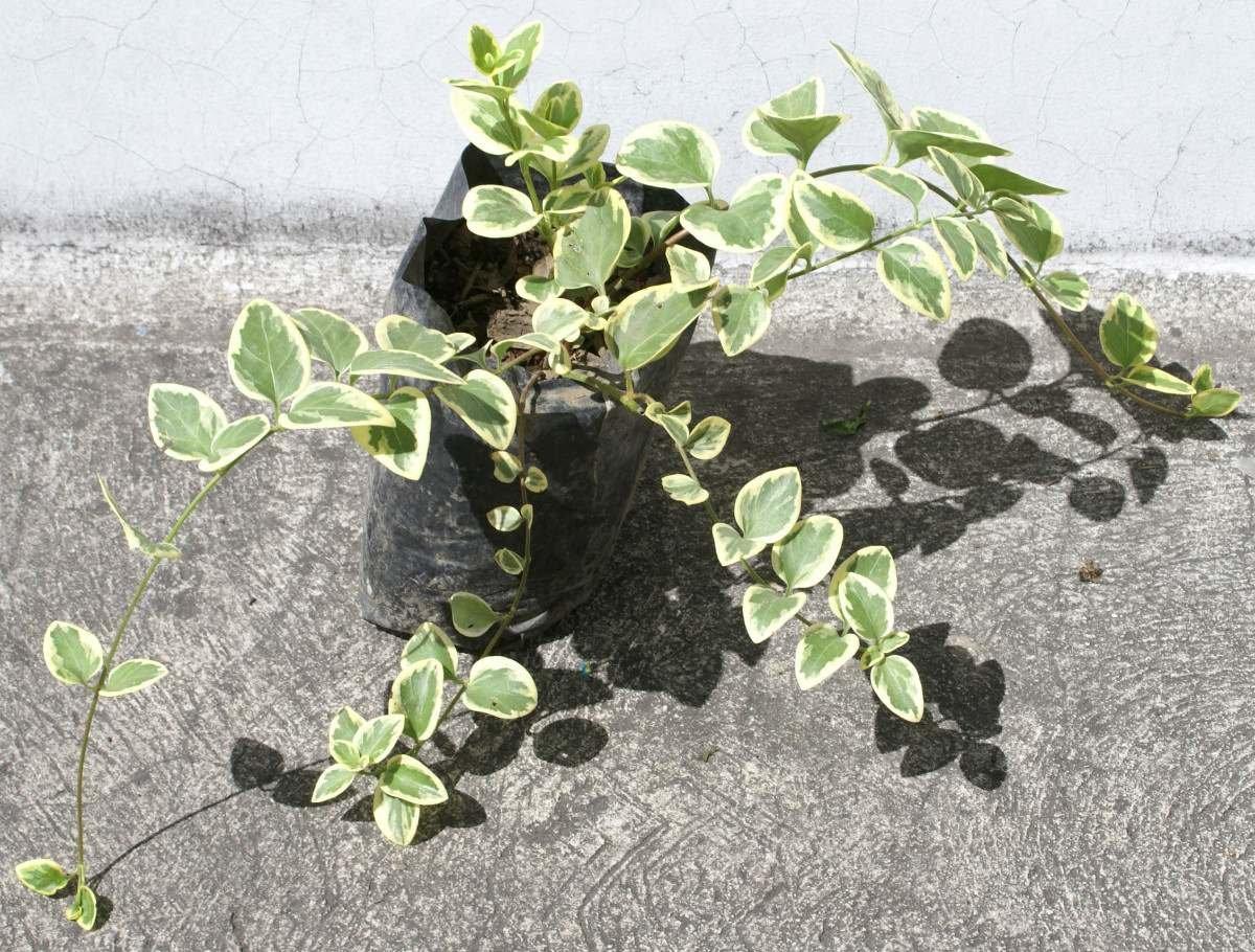 Vinca Una Liana Ornamental Planta Decorativa Hojas