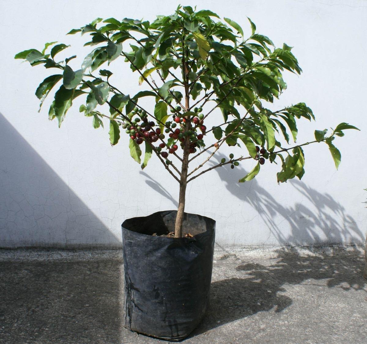Una planta arbusto de cafe bien desarollado todo ecuador for Plantas ornamentales del ecuador