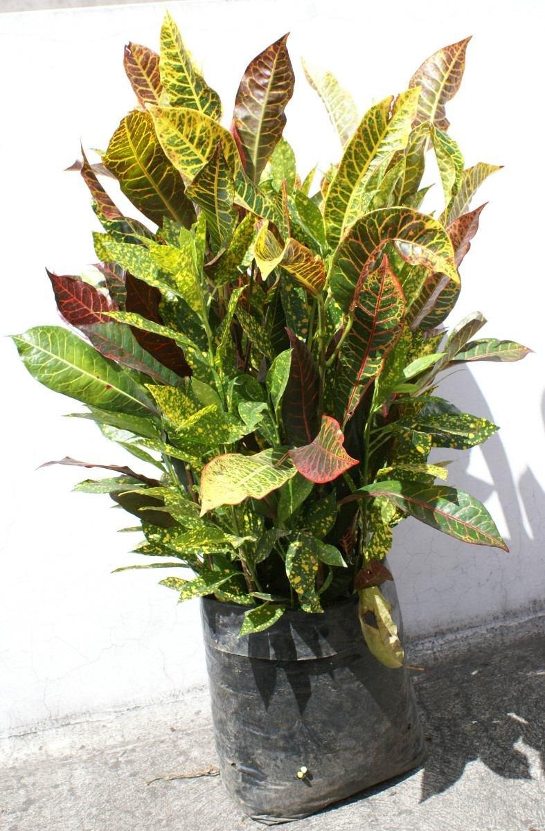 Planta decorativa grande de codiaeum croton crotos for Plantas decorativas ornamentales