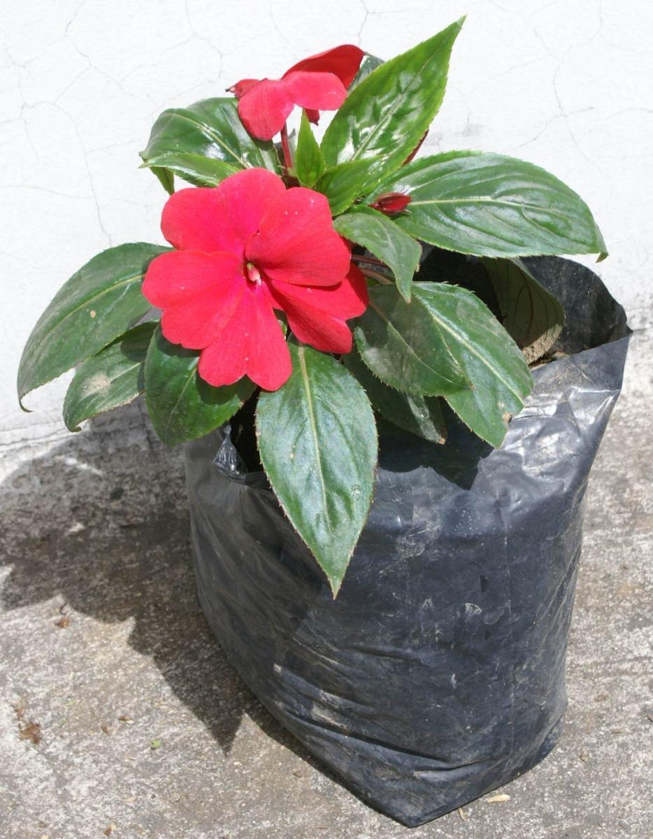 Lote 4 plantas chabela plantas y flores de jardin en for 5 plantas decorativas