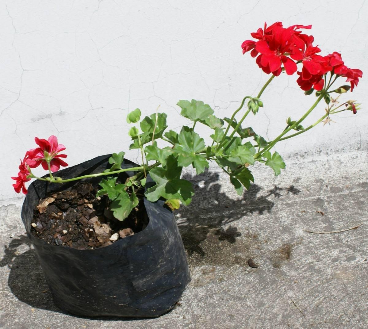Lote 4 plantas geranio jardin de plantas ornamentales for Plantas decorativas ornamentales