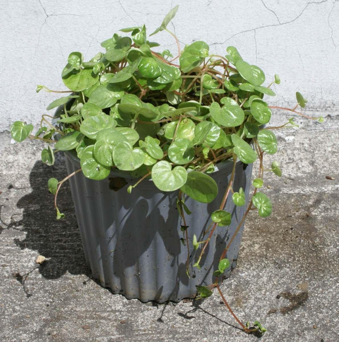 Lote 4 plantas dolares viveros de plantas ornamentales for Plantas decorativas ornamentales