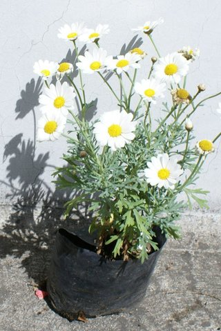 Lote 3 plantas margarita blanca plantas exteriores ecuador for Plantas decorativas ornamentales