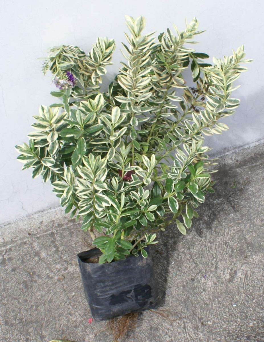 Evez arboles ornamentales para jardin y ideas decoracion for Arboles ornamentales jardin