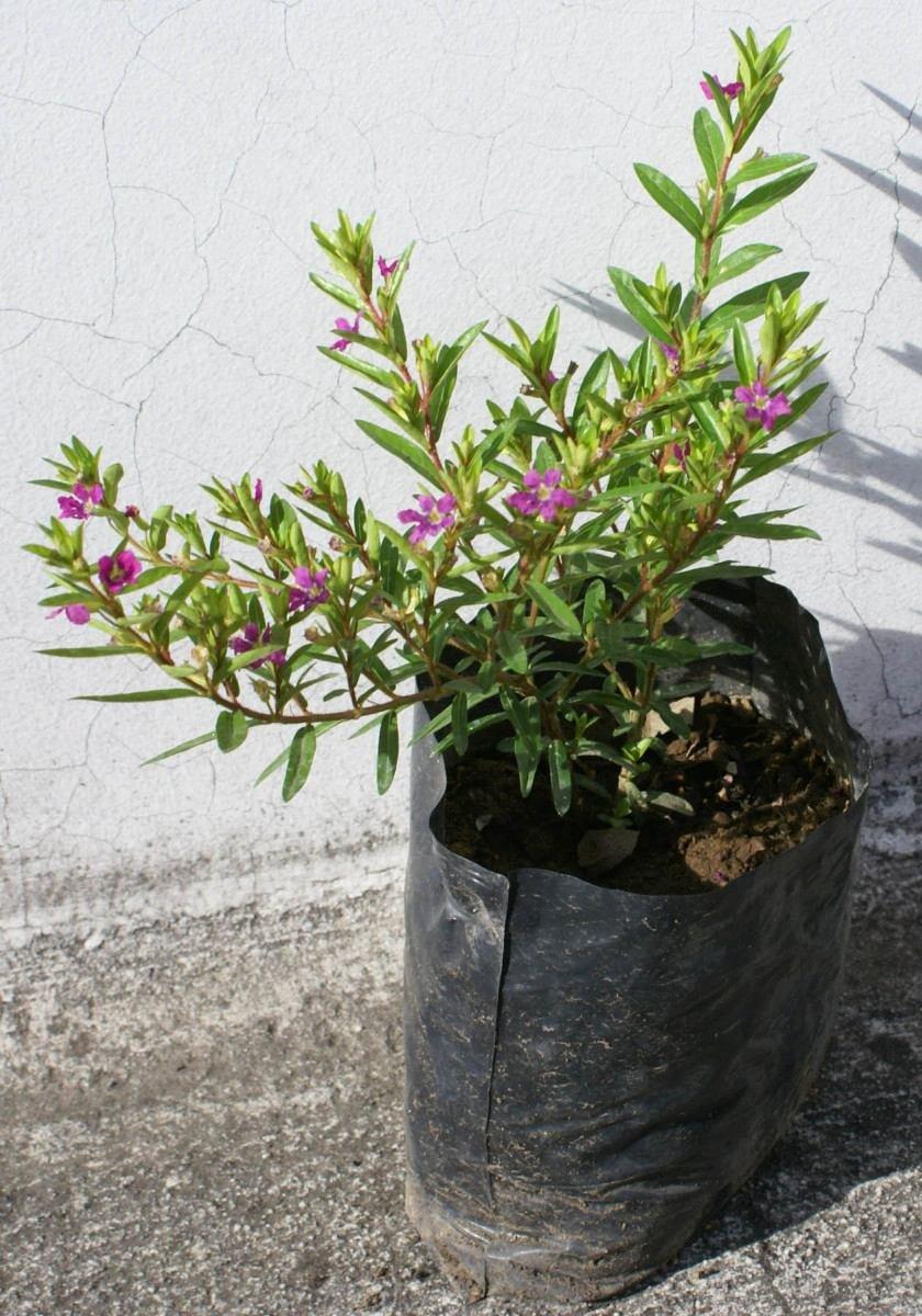 Lote de 3 arbustos de mil flores plantas decorativas for Plantas decorativas hidroponicas