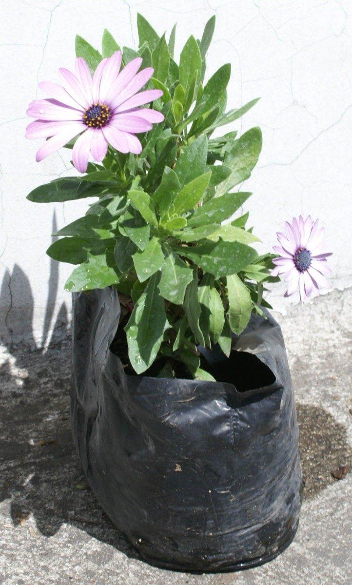 Lote 3 plantas tosfio decoracion de jardines rusticos for 5 plantas decorativas