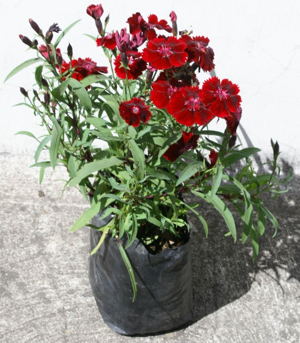 lote 4 plantas clavelina variedad de plantas ornamentales