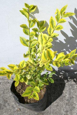 Planta trueno arbusto plantas para decorar jardin ecuador for Arbustos ornamentales de exterior