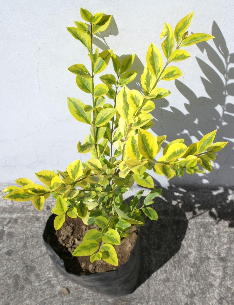 Planta trueno arbusto plantas para decorar jardin ecuador for Arbustos de jardin fotos