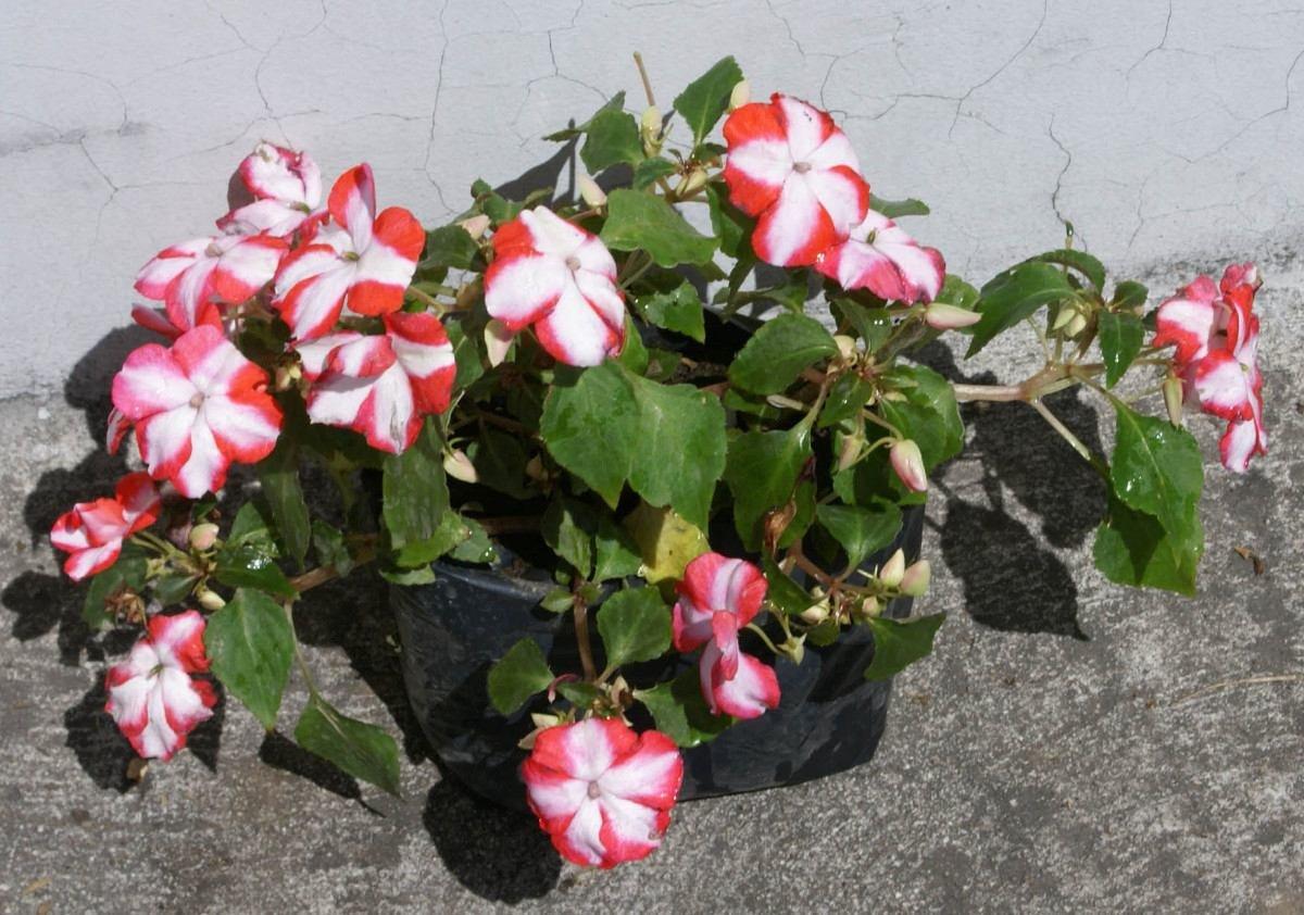lote 4 plantas de miramelindas plantas para jardines