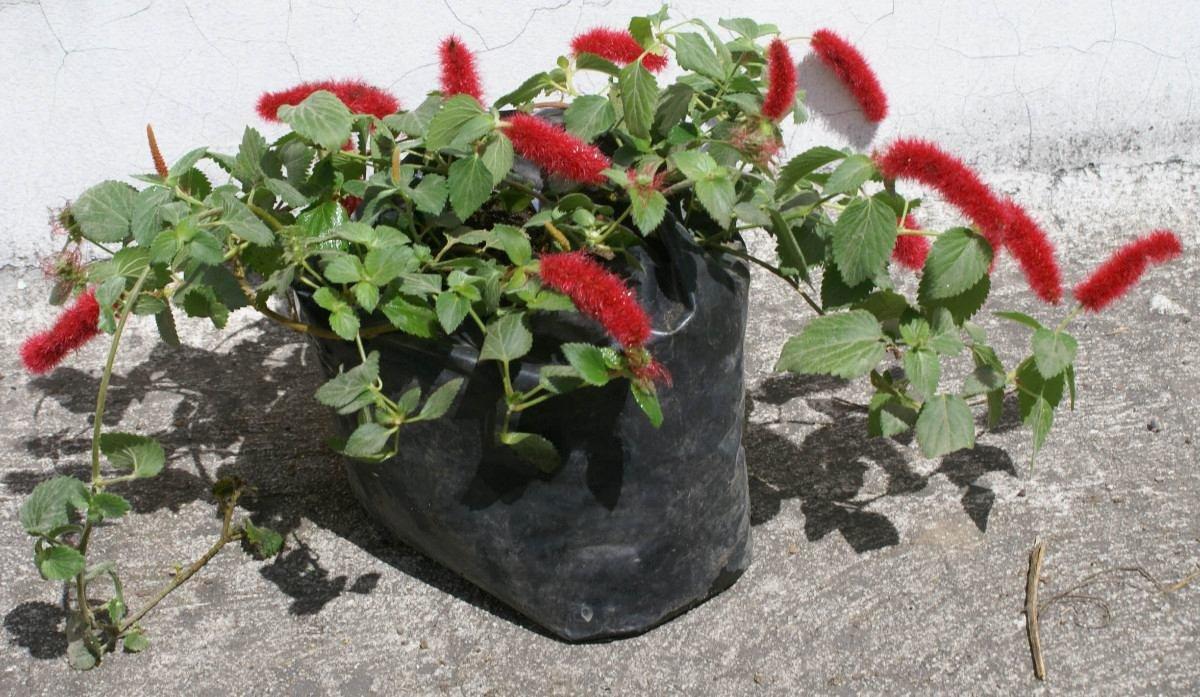 Lote 3 plantas cola de mono venta de plantas ornamentales for Ver plantas ornamentales