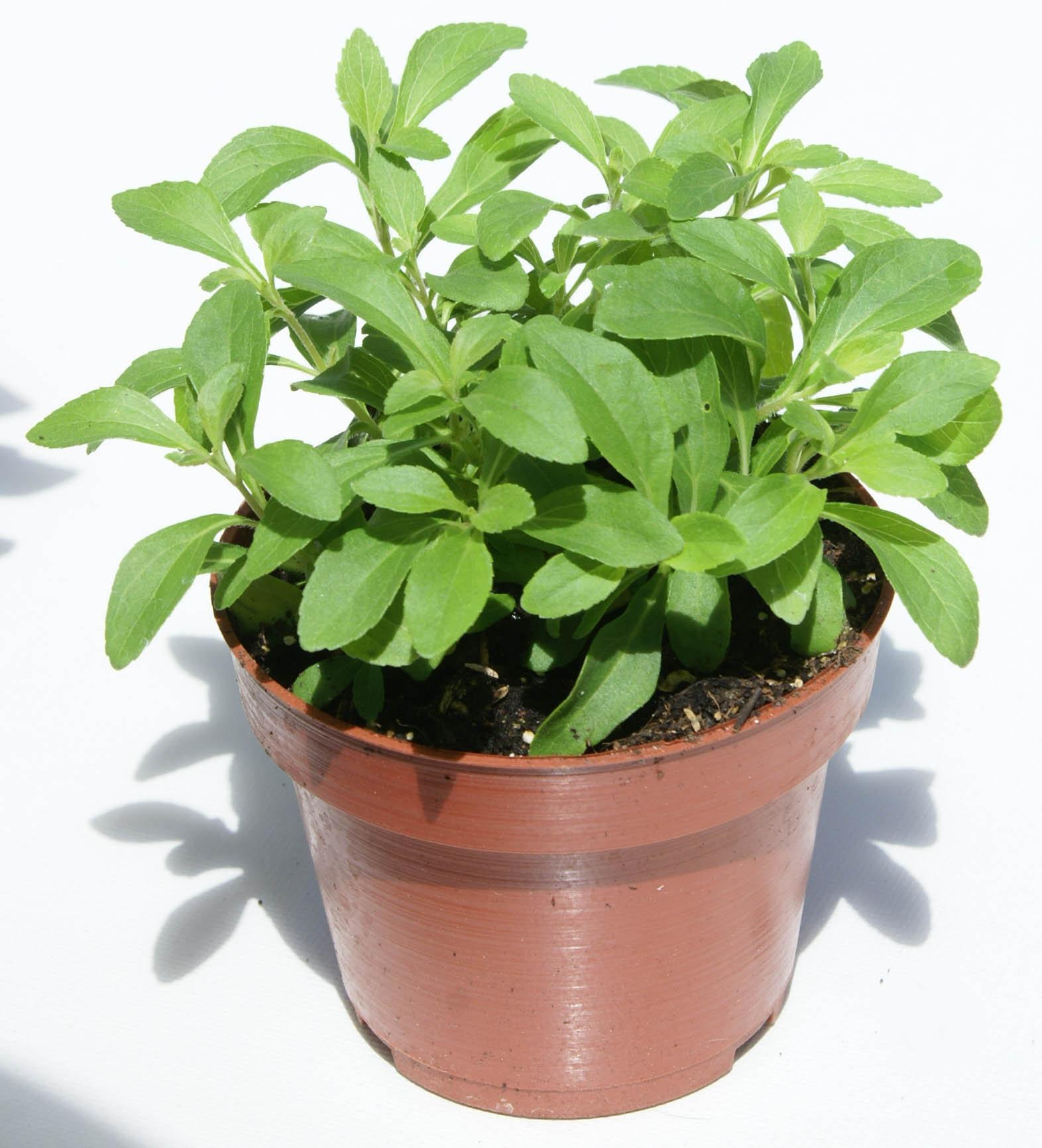 Stevia la planta de hoja dulce y medicinal salud venta for Varias plantas en una maceta