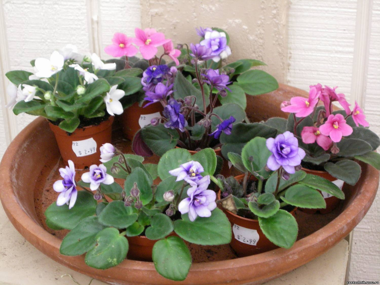 Violeta africana saintpaulia venta plantas de interior for Plantas decorativas de interior