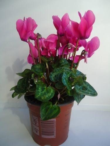 Cyclamen art nita pan de puerco planta decorativa for Plantas decorativas hidroponicas