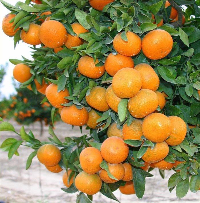 Una planta de mandarina injertada venta en quito envio for Plantas ornamentales del ecuador