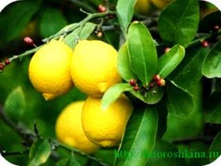 Una planta arbol de limon venta en quito envio para todo for Plantas ornamentales del ecuador