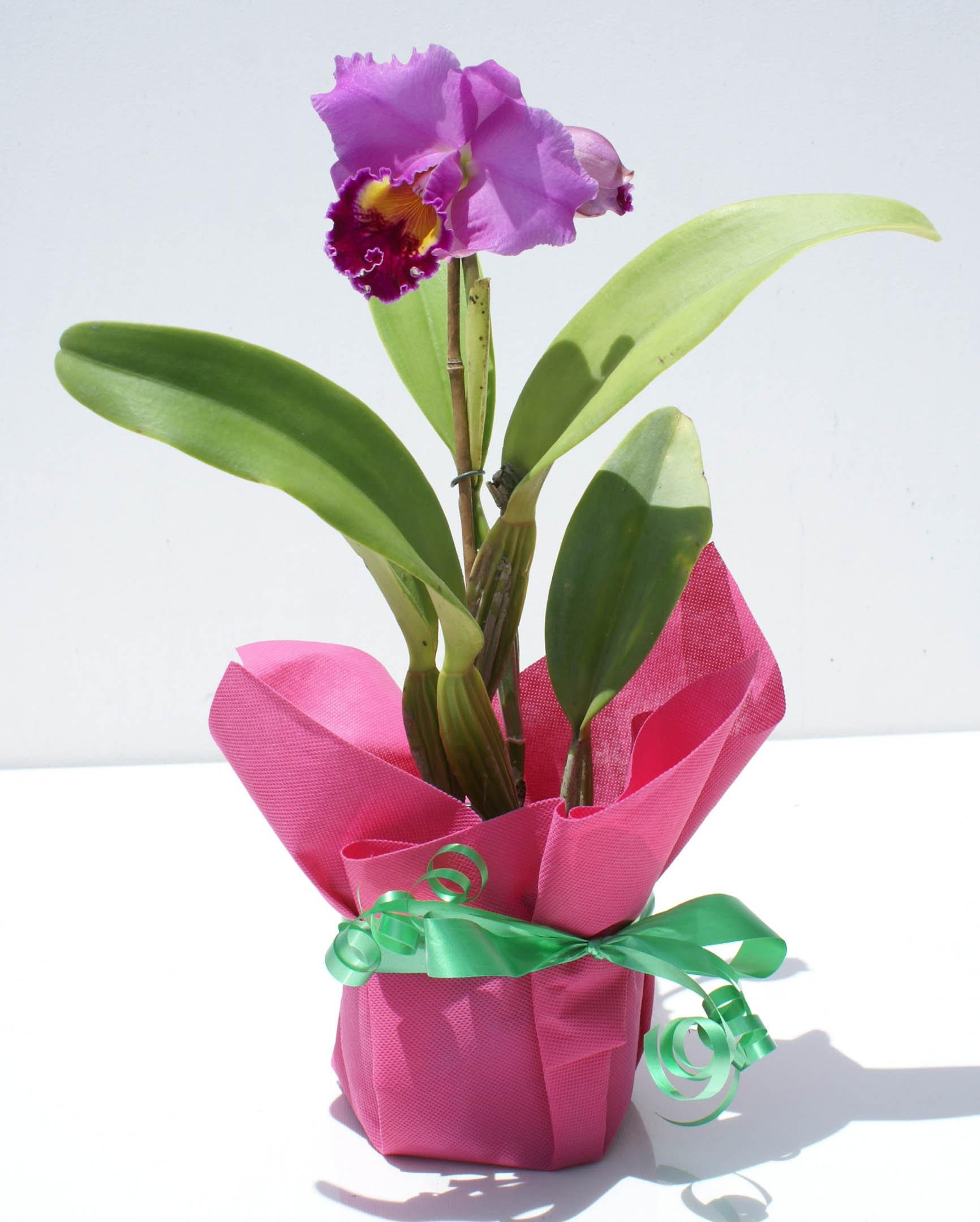 Planta cattleya orquideas con las flores venta en ecuador for Plantas decorativas ornamentales